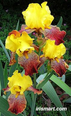 Los Coyotes Tall Bearded Iris Hybridized by Burseen; Year of Registration or Introduction: 1992 Height: 24-36 in. (60-90 cm) Bloom Color: Red Gold (Yellow-Orange) Bright Yellow