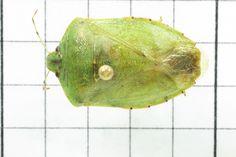 Stink Bug, Order Hemiptera: Family Pentatomidae (top) J. Cauthorn