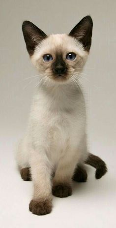 Siamese Kittens, Cute Cats And Kittens, Cool Cats, Kittens Cutest, Funny Kittens, Black Kittens, Tabby Cats, Bengal Cats, White Cats