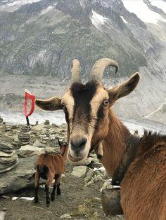 Selfie 😉 14 August 2017 Goats, Selfie, Photos, Animals, Pictures, Animales, Animaux, Animal, Animais