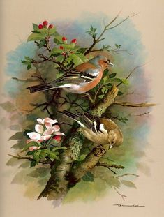 The Chaffinch - Vintage 1965 Bird Print by Basil Ede Bird Pictures, Pictures To Paint, Graffiti Kunst, Image Nature, Nature Artists, Vintage Birds, Vintage Art, Watercolor Bird, Bird Prints