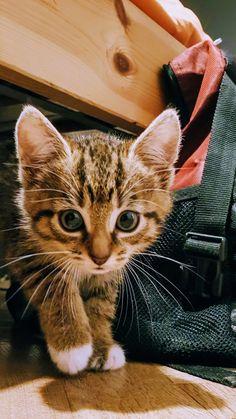 So my friend got a new kitten... #aww #cute #cutecats #catsofpinterest #cuddle #fluffy #animals #pets #bestfriend #boopthesnoot