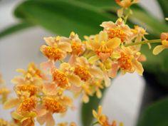 Oncidium Orchids   Oncidium Misaki Twinkle Obry