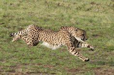 Guepardo (Acinonyx jubatus)  O mamífero terrestre mais rápido do planeta pode atingir 110 km/h. Suas garras não são retráteis, o que gera mais tração e, consequentemente, mais velocidade. O felino tem uma alta taxa de sucesso na captura de presas. Esse fato não é visto com bons olhos pelos fazendeiros, que frequentemente matam os guepardos para proteger seus rebanhos. A competição com outros gatos também é uma ameaça à espécie: em algumas áreas a mortalidade de filhotes chega a 95%.