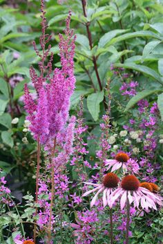 Astilbe Chinensis 'Superba (Fackelblomster) and Rudbeckia