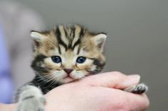 British Shorthair Kitten | Cattery Zuma's Home | www.catteryzuma.nl