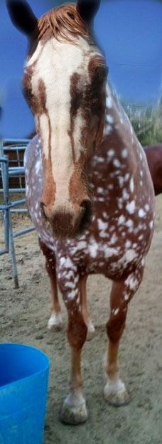 I wander if Aisha will look more like this as she ages. Sugar got more and more spots as she aged. Reverse Leopard Sorrel Appaloosa. Such a cool face.