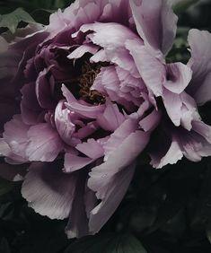 53 Ideas for flowers peonies background bouquets Amazing Flowers, Beautiful Flowers, Beautiful Beautiful, Fleurs Diy, Peonies Garden, Flower Aesthetic, Flower Wallpaper, Wallpaper Backgrounds, Trendy Wallpaper