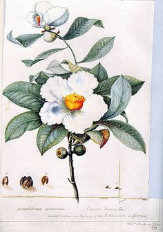 Franklinia alatamaha by William Bartram (1782)