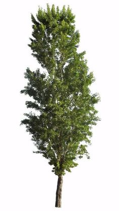 Populus nigra Black poplar tree - cutout image with transparent backgroud, ready to be used in photoshop.