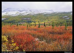 Berry plants in autumn color with early snow on mountains. Denali National Park (color)