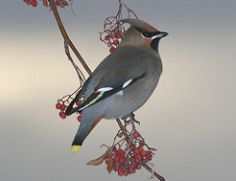 Lintulajit / metsien linnut (syvennä osaamistasi) flashcards | Quizlet
