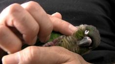 Green Cheek Conure Parrot - What they are like - Baby GCC