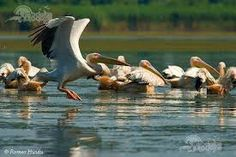 Imagini pentru delta dunarii imagini Danube Delta, Romania, Bird, Animals, Country, Birds, Animales, Animaux, Rural Area