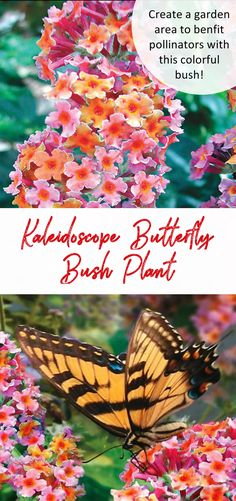 Attract butterflies and pollinators alike  with this easy care, colorful butterfly bush! Kaleidoscope Butterfly Bush is the first Buddleia to offer multiple colors on 1 panicle. Beautiful blooms of lavender, pink and tangerine orange will delight you as well as hummingbirds and butterflies from midsummer into fall. Very easy to grow, despite heat, poor soil or drought. Forms a shrub 6 to 8 ft. tall and wide. In northern climates, it will die back to the ground in winter and return to its…