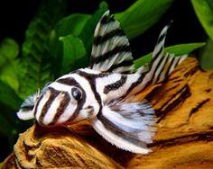 Zebra Pleco (L-46), (Hypancistrus Zebra) Art Profil, Zebra Pleco (L-46)…