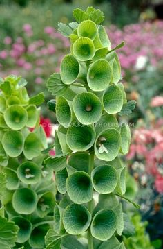 My Grandmother.Bells of Ireland in green flowers bloom Moluccella laevis, Irish celebration Green Flowers, Cut Flowers, Beautiful Flowers, Beautiful Things, Simple Flowers, Line Flower, How To Attract Hummingbirds, Deco Floral, Plantation