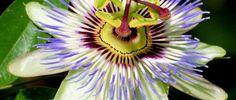 Passiflora: Propriedades e Benefícios - http://comosefaz.eu/passiflora-propriedades-e-beneficios/