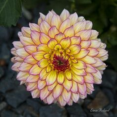 ✯ Dahlia My mother loved dahlias and hers were always so beautiful. I sure do miss her so much!
