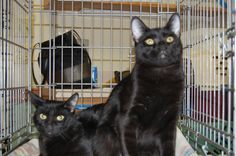 Two black cats ready to be adopted.