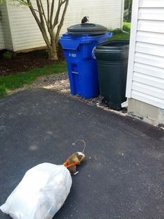 From Stuff My Guinea Does - Taking Out The Trash