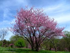 Eastern red bud tree in bloom; Eastern red bud tree blossoms; tree with bright pink blooms; tree with bright pink blossoms