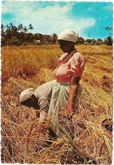 Handmatig Padi's oogsten met een sikkel...jaren '60.