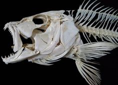 Gallery For > Fish Skeleton