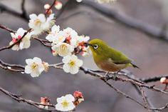 Japanese white-eye on Ume by Mubi.A