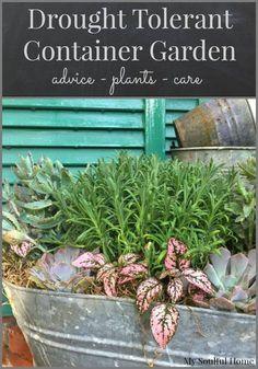 Drought tolerant container garden advice, plant ideas & care