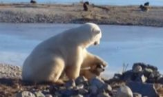 Polar Bear Seen Petting Dog At Sanctuary Actually Ate One Of The Dogs (UPDATE)