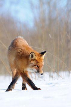 beautiful-wildlife: Foxtrotbyjanek joab