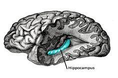 Le cerveau et la mémoire   Observatoire B2V des mémoires