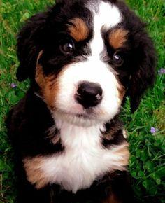 "Honey Creek's Tisa's Vineyard (""Piper"")---Bernese Mountain Dog ..."