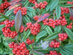 Cotoneaster salicifolius (Rosaceae) M fűzlevelű madárbirs K-Ázsia (HOLA.)