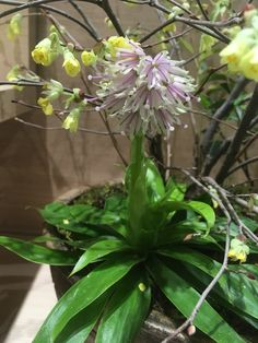3/6 シロバナショウジョウバカマ(白花猩々袴)ユリ科ショウジョウバカマ属 常緑多年草  ショウジョウバカマは「猩々」の毛の色に見立てた赤い花だが、このシロバナショウジョウバカマは、 名前のとおり、白い花。ショウジョウバカマの変種といわれており、数は少ないが四国、本州の一部に分布、自生。