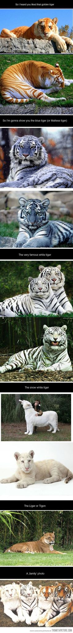 So I heard you like tigers…(The blue tigers apparently may or may not be real, and the pictures of them are definitely fake, but the others are real and really pretty)