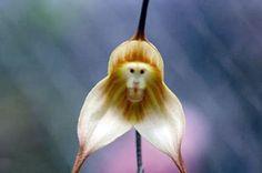 L'orchidée Dracula Simia ou orchidée singe, photo 08