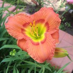 Hemerocallis 'Green Eyes Wink'