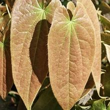 """woodland shade perennials Fairy Flower for sale buy Epimedium sagittatum 'Love Potion No.9' Epimedium sagittatum 'Love Potion No. 9' Item# 7978 Available: 09-25-2015 Zone: 6a to 8b, Height: 20"""" tall Culture: Part Sun to Light Shade Origin: China Pot Size: 3.5"""" pot (24 fl. oz/0.7 L) - See more at: http://www.plantdelights.com/Epimedium-for-sale/buy-Fairy-Wings/Epimediums/#sthash.0xmFaYPD.dpuf"""