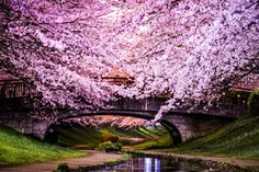 Cherry Blossom Trees in Japan