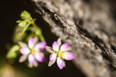 Ann-Kristina Al-Zalimi, läpi harmaan kiven, flower, trough the grey stone