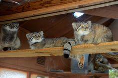 Pallas's Cat, Kitty Cats, Serval Cats, Cat Plants, Domestic Cat, Cat Love, Big Cats, Indoor Plants, Palace