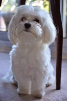 Maltese is a small sized dog breed closet in resemblance with Bichon Frise.Maltese have quiet long healthy life spans.Maltese are also considered hypoallergenic :)