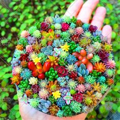 100 pçssaco Real mini sementes de cactos suculentas raros suculentas bonsai vaso de plantas herbáceas perenes sementes de flores de plantas de interior para casa