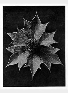 Karl Blossfeldt biography - An artist, teacher, sculptor and photographer from Germany, Karl Blossfeldt - worked in Berlin till the age of He was inspired by nature Karl Blossfeldt, Botanical Illustration, Botanical Prints, Sea Holly, Non Plus Ultra, Berlin, Seed Pods, Natural Forms, Natural Curves