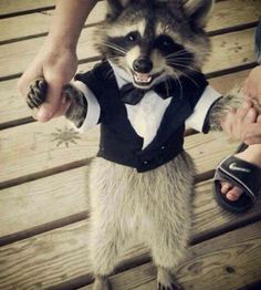 Domesticate a raccoon! I'd have to declaw him, but I probably wouldn't dress him up.