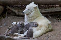 Arctic Wolf Pups Explore Exhibit at Schönbrunn Zoo - ZooBorns Arktischer Wolf, Wolf Pup, Wolf Love, Wolf Howling, Lone Wolf, Beautiful Wolves, Animals Beautiful, Wolf Pictures, Animal Pictures