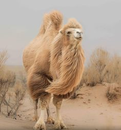 The two humped Bactrian camel native to Afghanistan and Mongolia reminds me of a Lion Rare Animals, Zoo Animals, Animals And Pets, Alpacas, Camelo Bactriano, Beautiful Creatures, Animals Beautiful, Camel Animal, Bactrian Camel