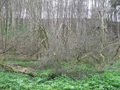 Old willow trees, some broken, in a mass of gunnera and ramsons in ancient wet woodland. Green woodpecker often heard here now. Today a tawny owl was calling in the day. Roe deer drink here.